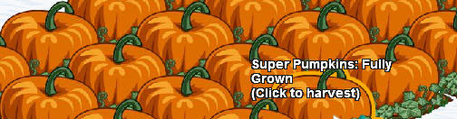 fully grown super pumpkins ready for harvest
