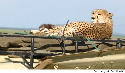 Cheetah on Bob Poole's car