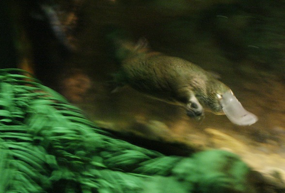 Platypus takes a 9-mile ride in driver's engine bay