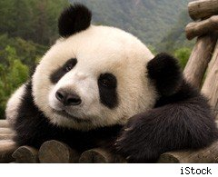 A giant panda, whose numbers in the wild have dwindled to 1600