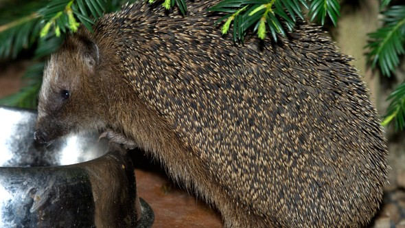 How to help hedgehogs