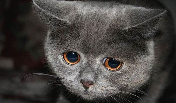 Sad grey kitty