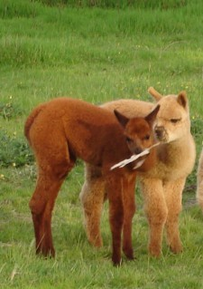 I don't have a picture of Airelle.  Instead, here are some baby alpacas.