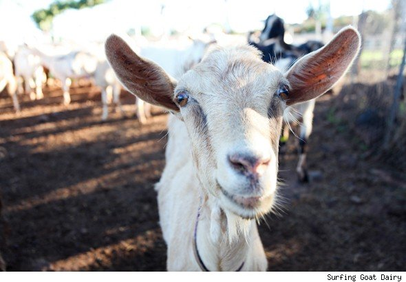 Hanging 10 with the Goats: Maui Upcountry Road Trip