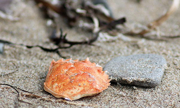 crab shell on beach