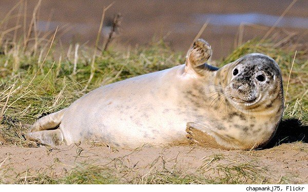 gray seal waving