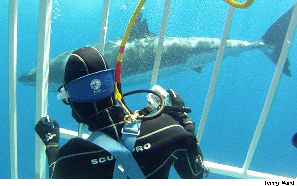 shark dive Guadalupe Island