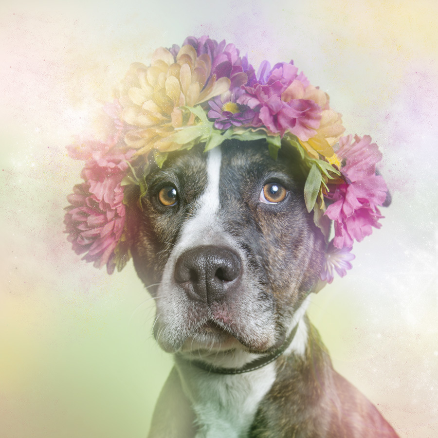 Flower hats are the best thing to happen to pit bulls - AOL News 08c60e12bb3