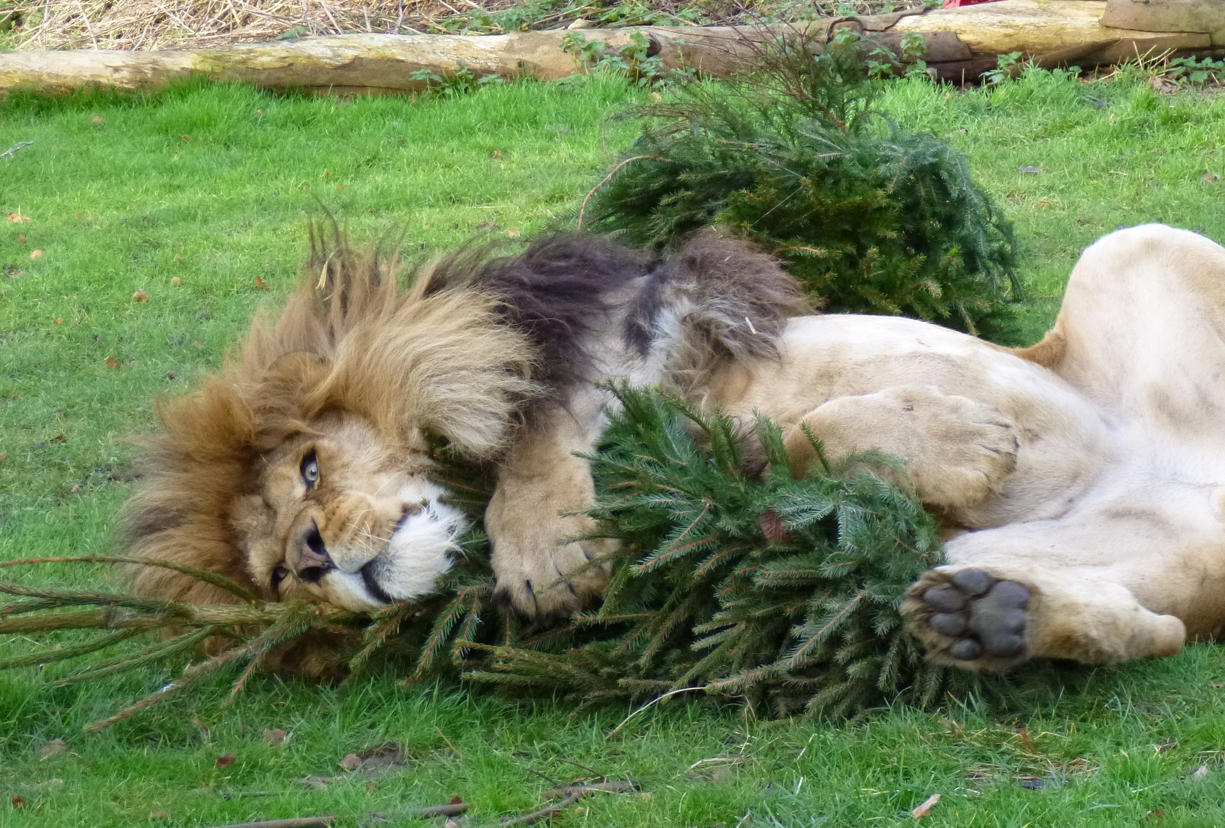 Zoo Gives Lions Old Christmas Trees To Play With As Post