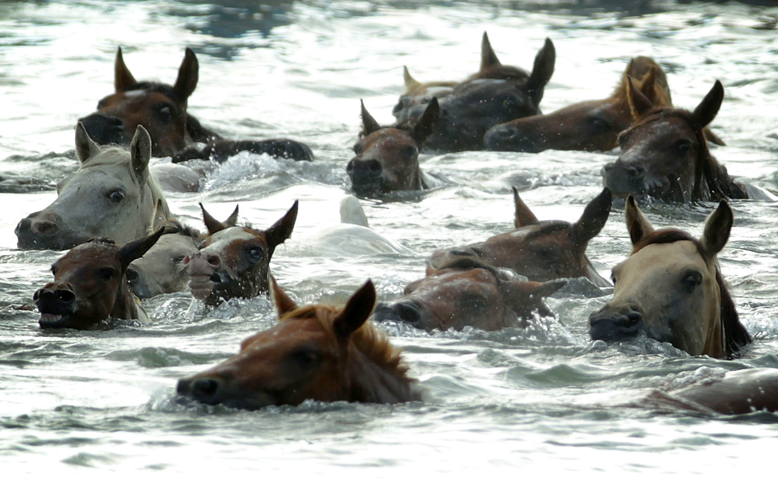 assateague wild ponies swim to chincoteague island in