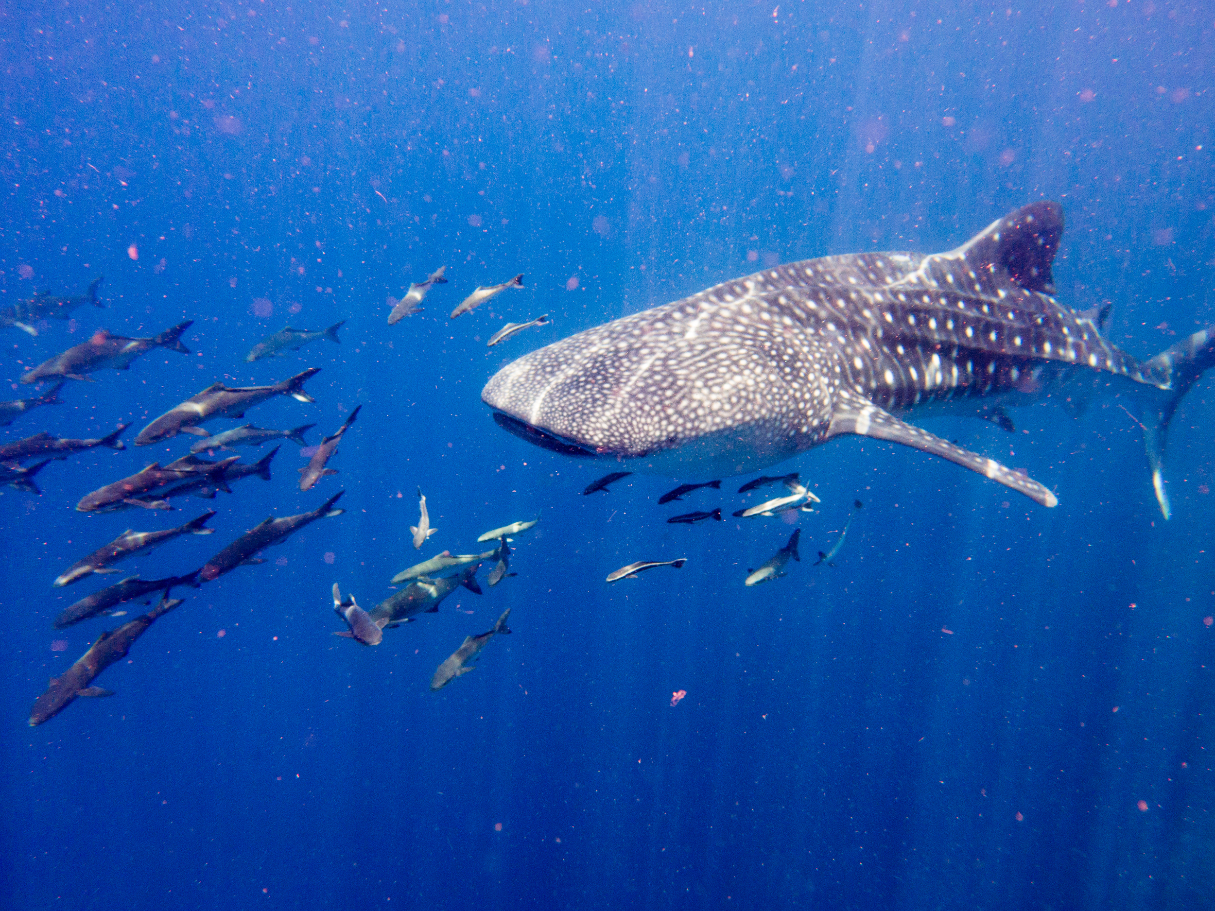 Huge whale shark glides casually past divers in 'The Trench' off West Palm Beach