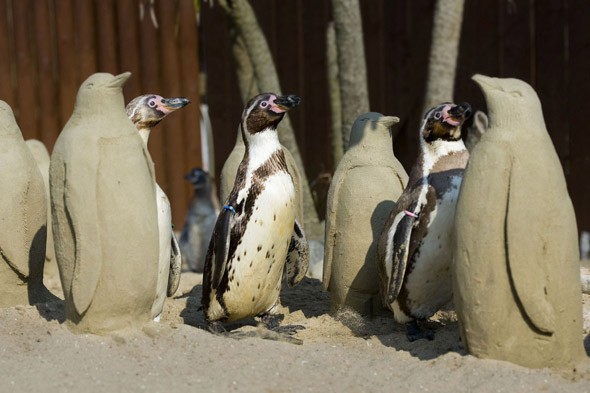 Lonely penguins perked up by sand sculpture friends