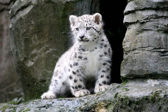 Stunning snow leopard cubs come out to play at Hampshire zoo