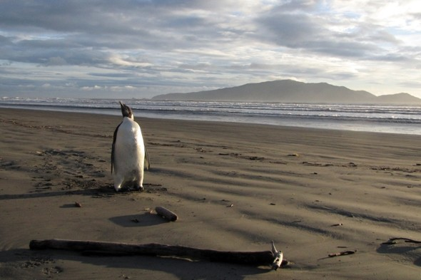 'Happy Feet' penguin set to return to Antarctic after New Zealand holiday