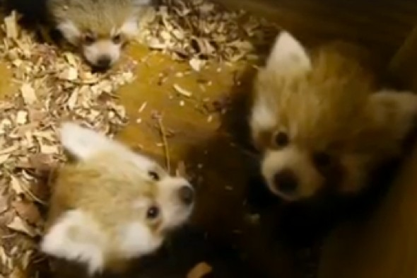 Beautiful red panda triplets make debut at Oklahoma Zoo