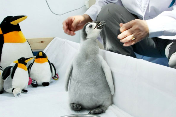 Bald baby penguin grows back feathers