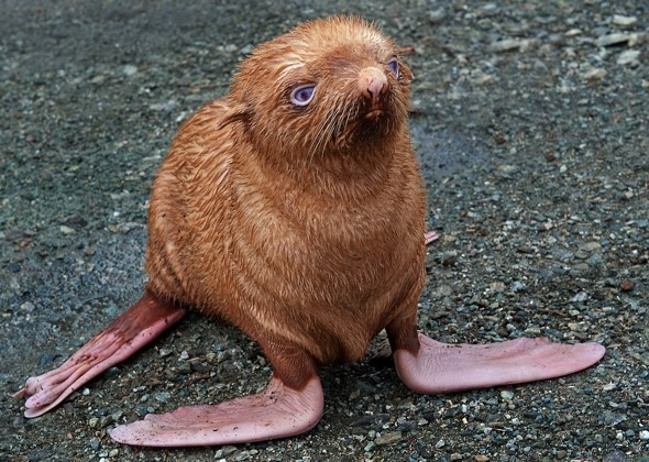 Cute albino seal rejected by family 'because he's ginger'