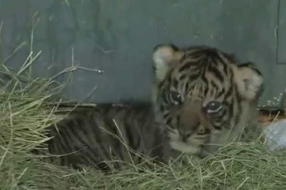 Video: Stunning Sumatran tiger cubs born at LA Zoo