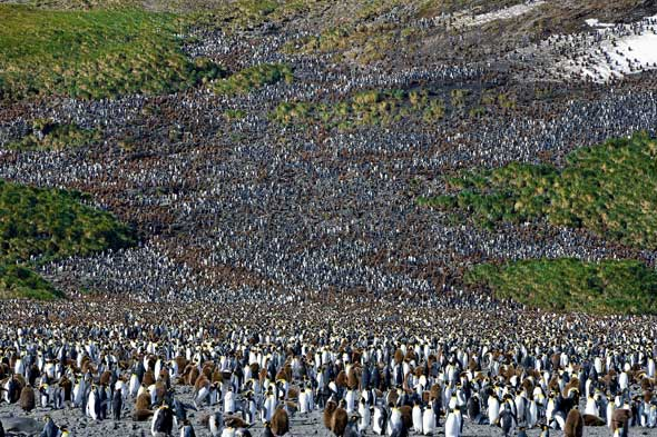 200,000 penguins looking for their chicks
