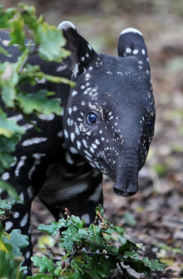 Adorable baby tapir makes first outing at zoo in Kent