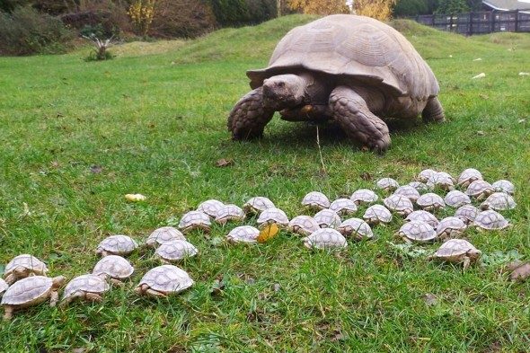 Giant tortoise gives birth to 45 babies at UK zoo