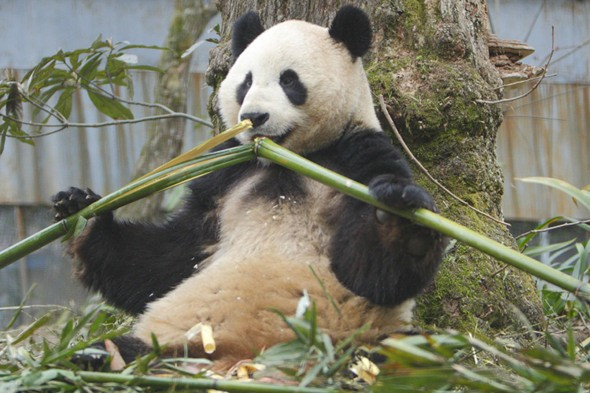 Giant pandas arrive in Britain today