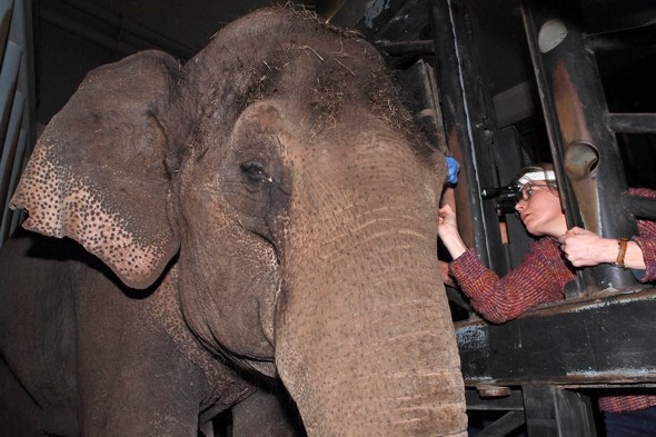 Elephant becomes first in Europe to have contact lens fitted