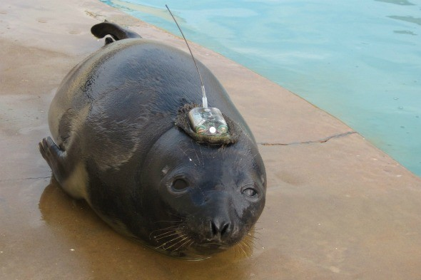 Seal who keeps getting lost to be flown home