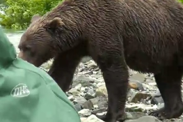 Video: Tourists in Alaska get a fright as grizzly bear charges