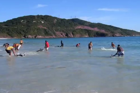 Video: Dramatic reduce as 30 stranded dolphins saved by sunbathers in Brazil