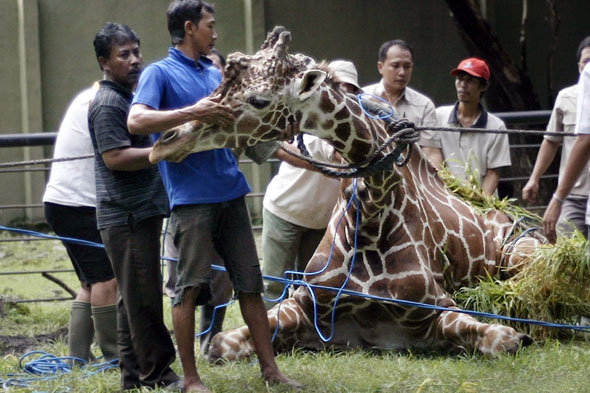 Outrage as girraffe dies after eating plastic litter thrown into its enclosure