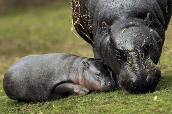 New baby pygmy hippo comes out to play at Edinburgh Zoo