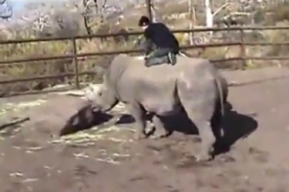 Video: Man breaks into enclosure and 'rides a rhino' at zoo