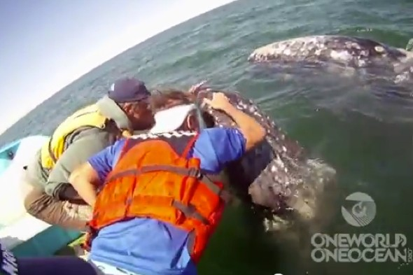 Video: Amazing moment whale lifts her calf to greet tourists in Mexico