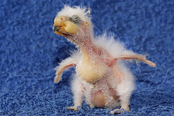 Ugliest baby bird in the world taken on by zoo
