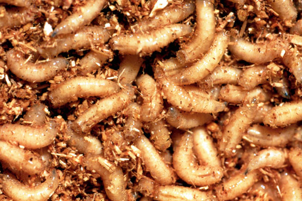 Snack, anyone? Passenger served live maggots on Qantas flight