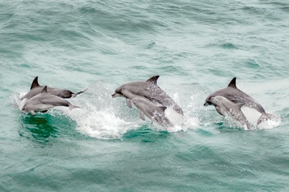French fishermen 'eating dolphins illegally caught in Cornwall'
