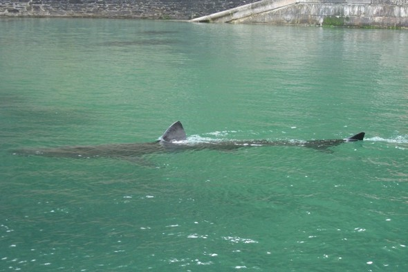Huge Shark Spotted In Cornwall Harbour Aol Uk Travel