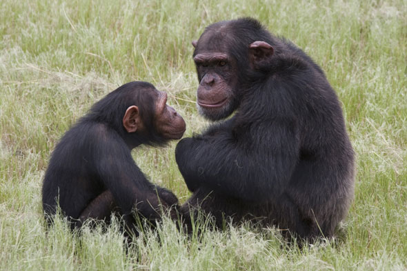 Chimps launch savage attack on man at game reserve