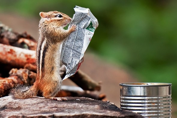 On a diet? Chipmunk 'reads' ingredients of tasty snack bar