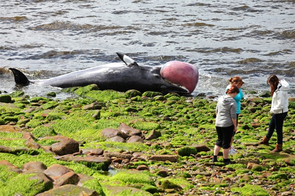 Dead whale found on popular Scottish beach after floating in river for days