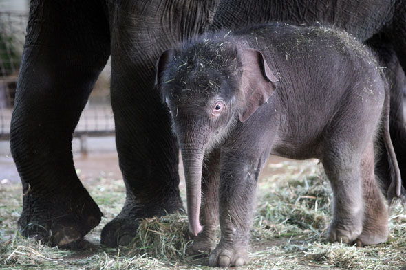Video of the day: Baby elephant makes her debut at Berlin zoo