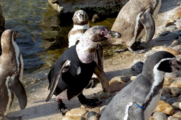 Meet Ralph the bald penguin who lives in a wetsuit
