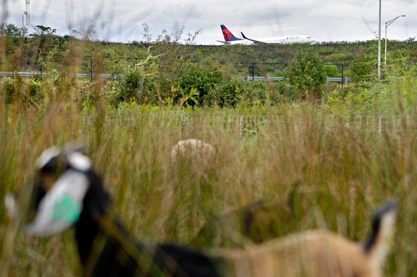 Airport employs goats to trim the grass
