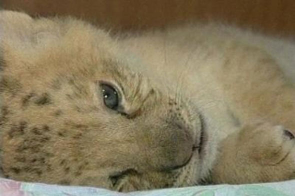 baby lliler born in Russian Zoo - a cross between a lion and a tiger