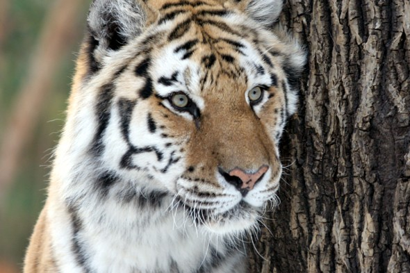 Man mauled by tiger after jumping into den at New York zoo