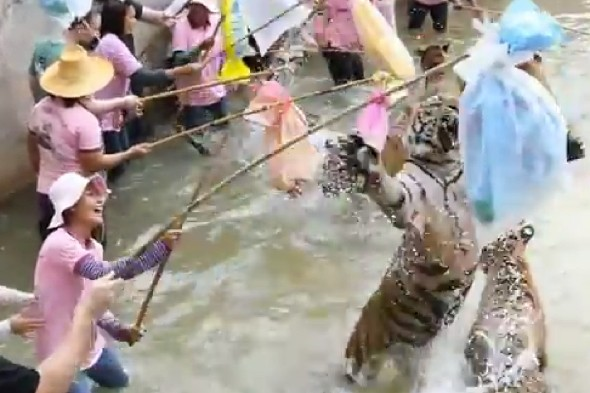 Shocking footage shows tourists 'teasing drugged tigers' at Thai attraction