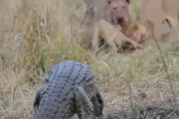 Video: Crocodile takes on lions in fight over lunch