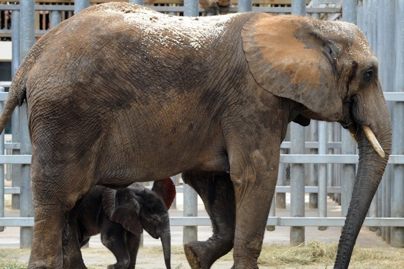 Elephant tramples zookeeper to death in Japan