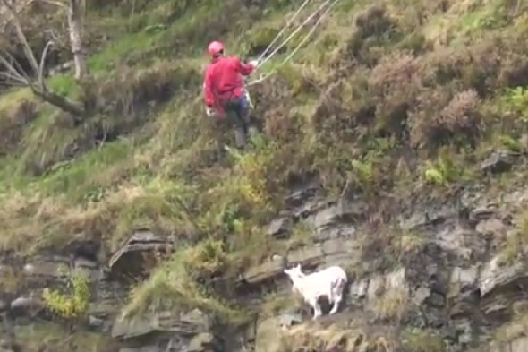 Video: Rescuers spend three hours 'saving' stranded goat before it hops away